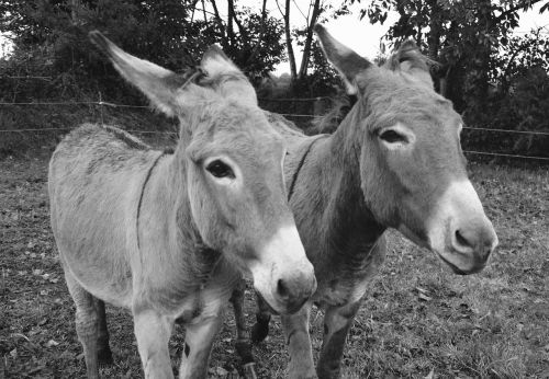 donkeys photo black white portrait