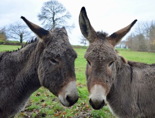 donkeys heads asses long ears