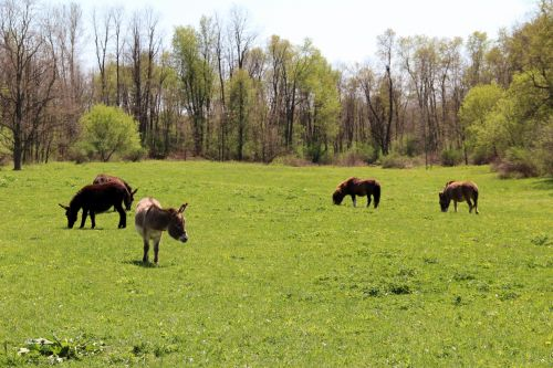 Donkeys And Ponies