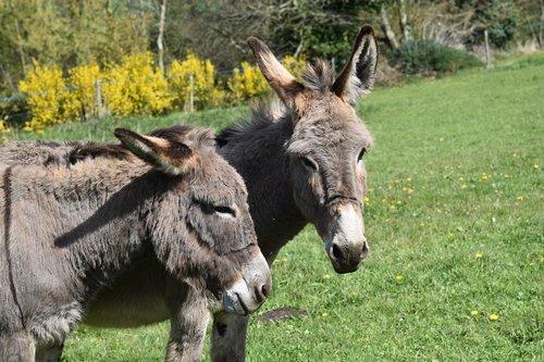 donkeys grey  donkey of the cross saint andré  color grey