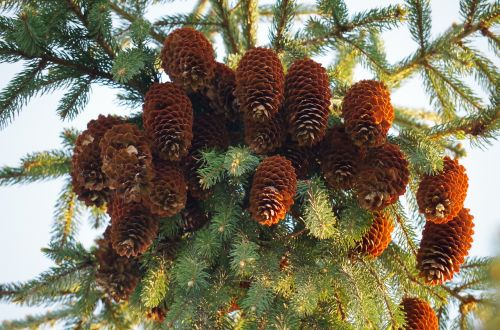 donuts conifer brown