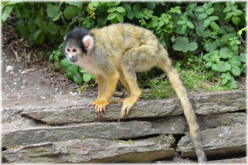 Squirrel Monkeys 1