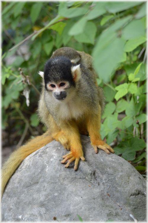 Squirrel Monkeys 2
