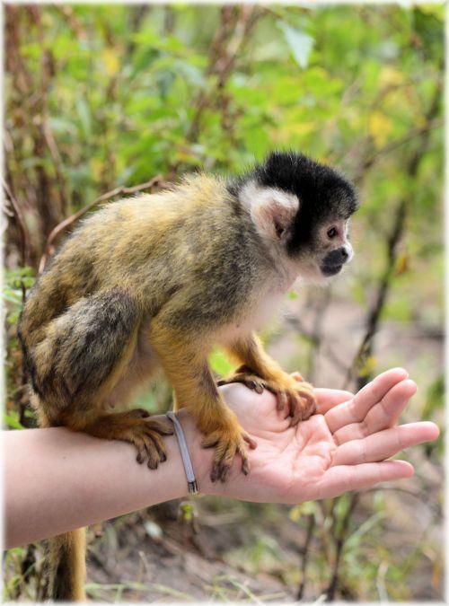 Squirrel Monkeys 5