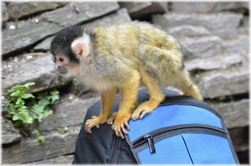 Squirrel Monkeys 6