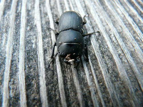 dorcus parallelipipedus beetle schröter