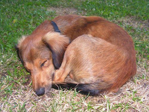 dormant dog klubíčko