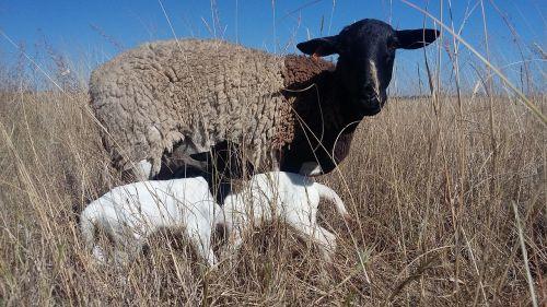 dorper sheep twin lambs