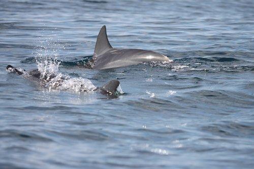 dorsal fin  dolphins  marine mammals