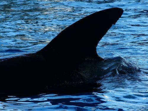 dorsal fin wal killer whale
