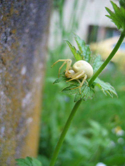 dorsata insect arachnids