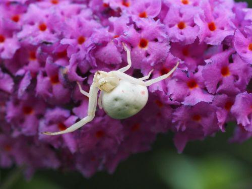 dorsata spider summer lilac