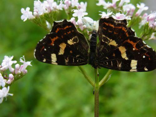 dorsata butterfly prey