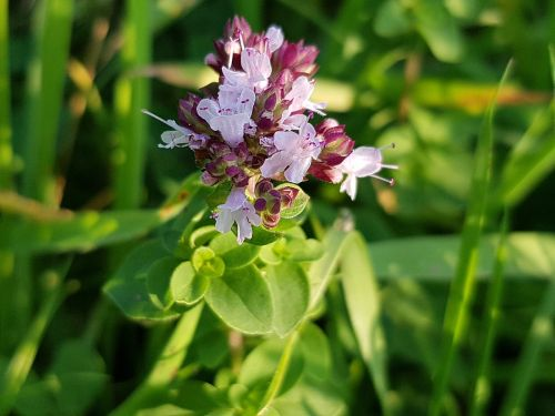 dost origanum lamiaceae