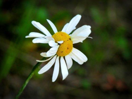 double  daisy  flower