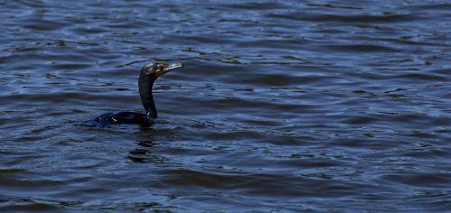 double-crested cormorant cormorant double-crested