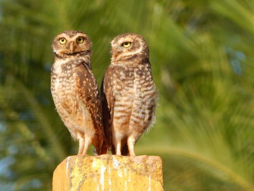 double owls bird of prey burrowing owl