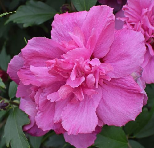 double rose of sharon flower blossom