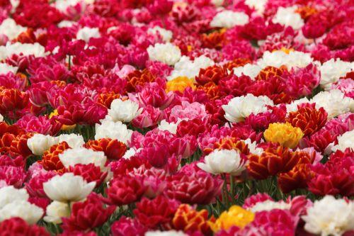 fonas, gražus, grožis, žiedas, šviesus, krūva, spalva, dvigubas, tulpė, tulpės, gėlė, šviežias, grupė, daug, gamta, žiedlapis, rožinis, augalas, pavasaris, valentine, dvigubos tulpės