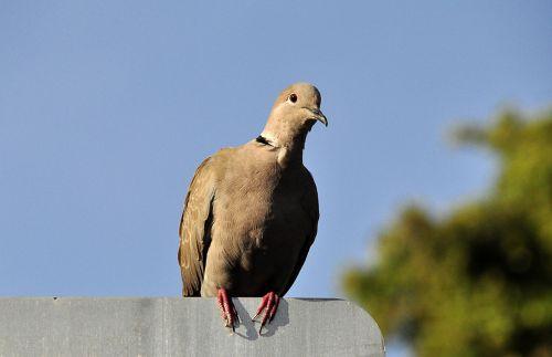 dove bird animals