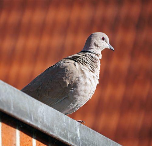 dove roof ledge