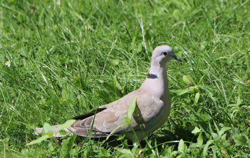 dove grass collared