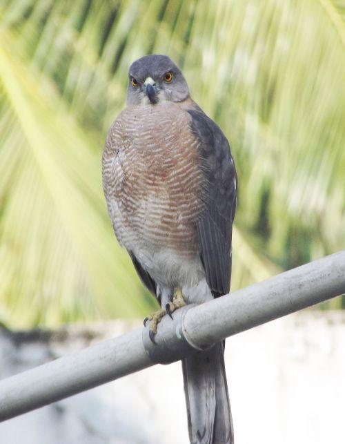 dove bird fauna