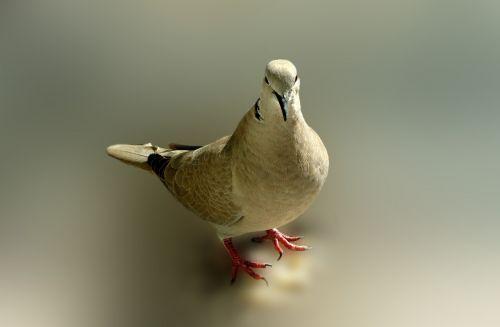 dove bird poses