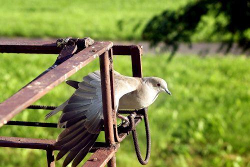 dove bird wings