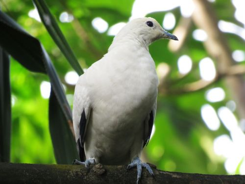 dove pigeon bird