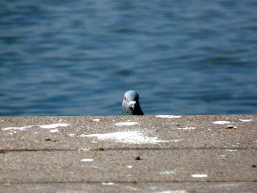 dove bird hello