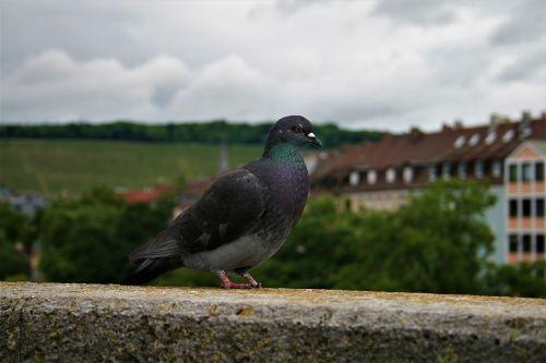 dove wall bird