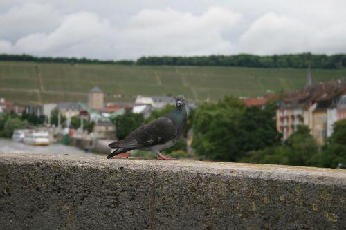 dove close bird
