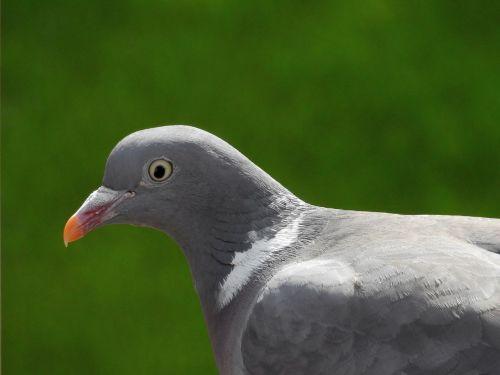 dove bird bird pigeon