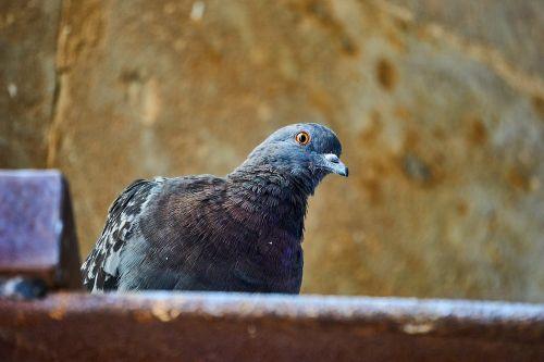 dove birds gable
