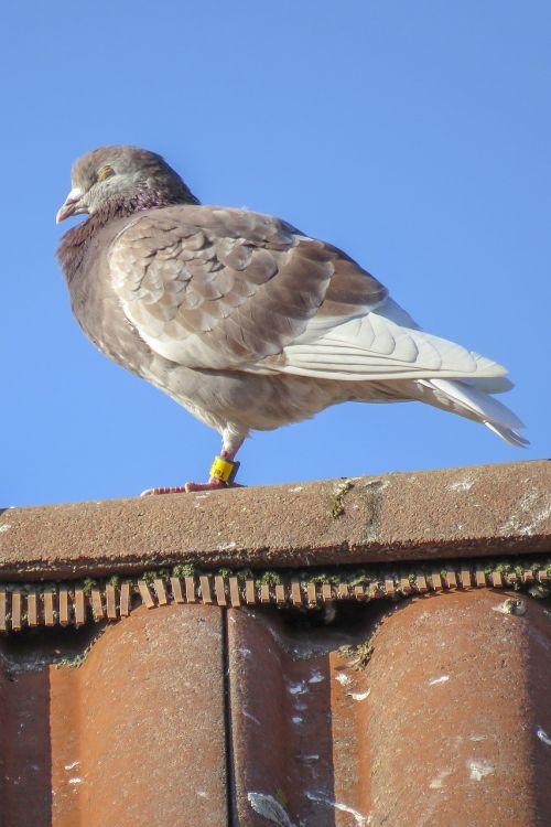 dove bird resting