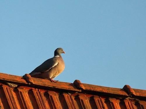 dove  roof  pigeon on the roof