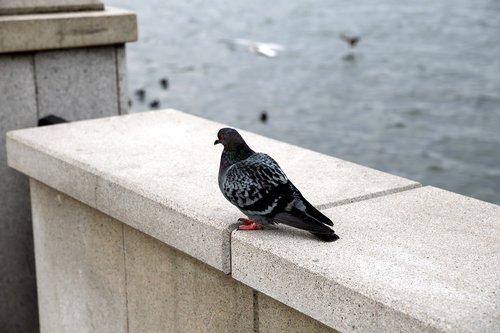 dove  bird  wild pigeons