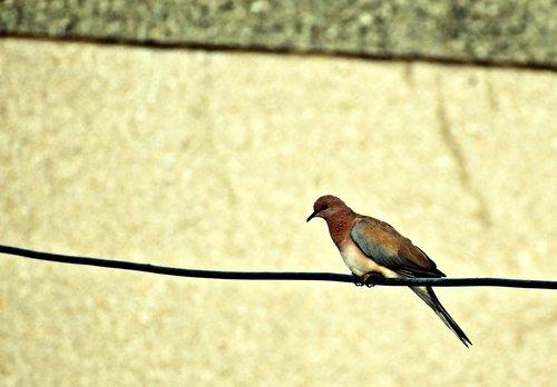 dove  bird  perched