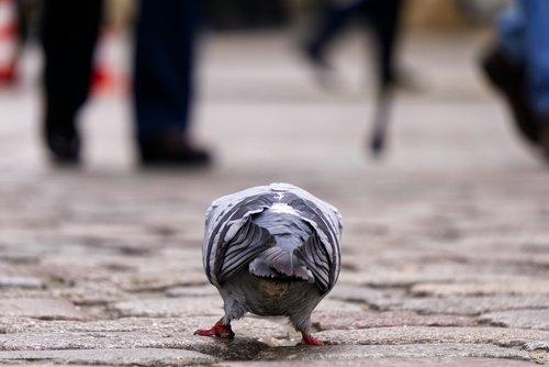 dove  bird  peck