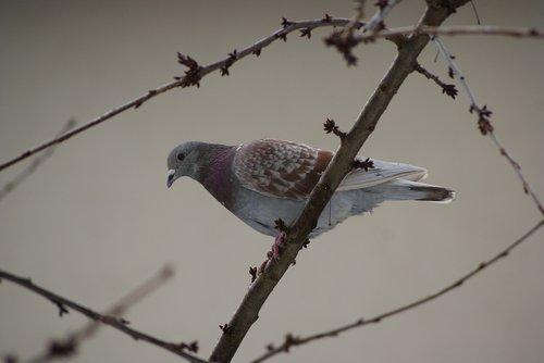 dove  bird  plumage
