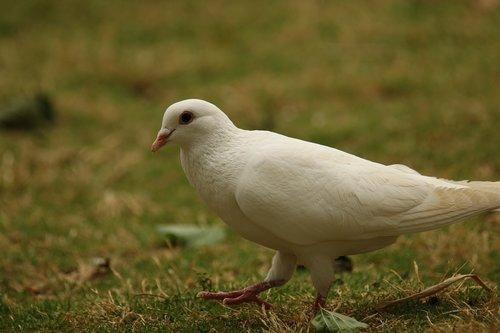 dove  white dove  walking