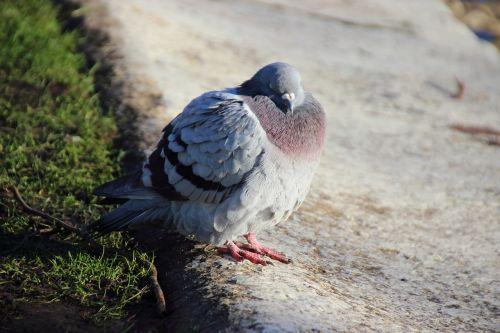 dove bird fluffed up