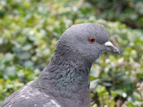 dove bird animal