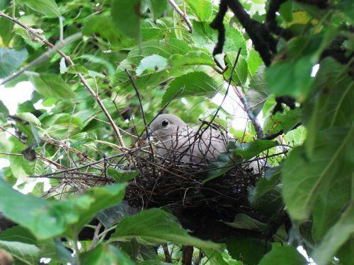 dove bird nest