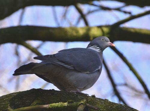dove pine chaps pigeon birds