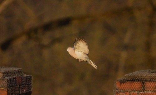 dove blur flight