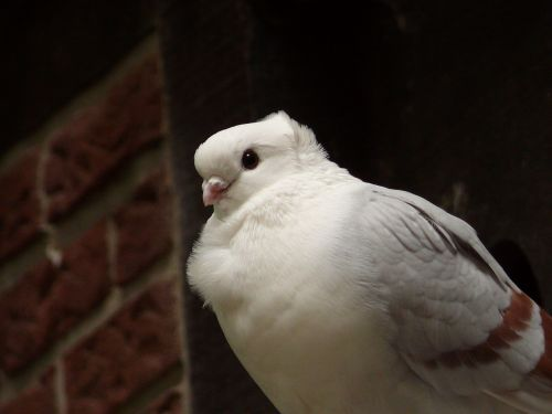 dove bird city pigeon