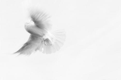 dove pigeon innocence