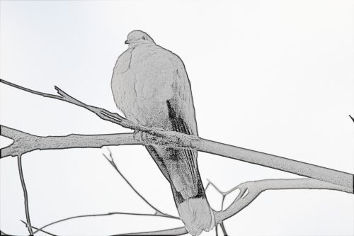 Dove Line Drawing